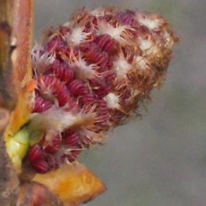 Photographie n°294156 du taxon Populus nigra L.
