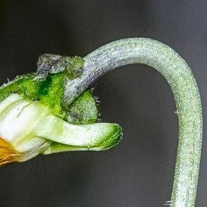 Photographie n°294209 du taxon Viola hirta L. [1753]