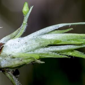 Photographie n°294212 du taxon Viola hirta L. [1753]