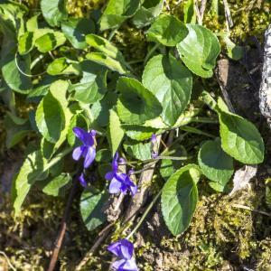 Photographie n°294213 du taxon Viola hirta L. [1753]