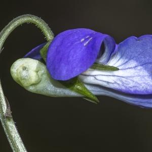 Photographie n°294228 du taxon Viola riviniana Rchb.