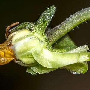 Photographie n°294230 du taxon Viola riviniana Rchb.