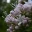 Jean-Pierre LESPINASSE - Valeriana officinalis subsp. sambucifolia (J.C.Mikan ex Pohl) Celak. [1871]