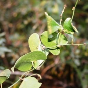 Photographie n°294247 du taxon Smilax aspera L. [1753]