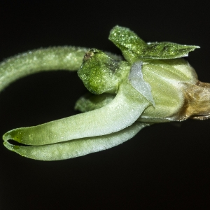 Photographie n°294325 du taxon Viola riviniana Rchb.