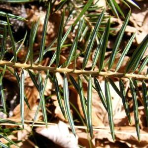 Abies cephalonica Loudon (Sapin de Céphalonie)