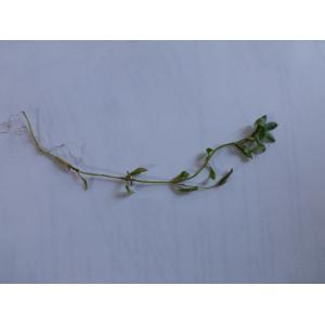 Callitriche brutia Petagna (Callitriche pédonculé)