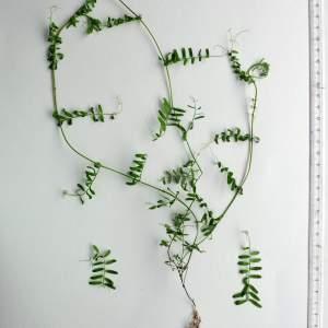 Photographie n°294562 du taxon Vicia hirsuta (L.) Gray