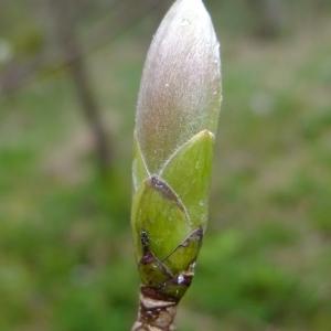 Photographie n°294826 du taxon Acer pseudoplatanus L.