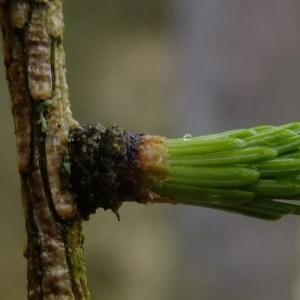 Photographie n°294869 du taxon Larix decidua Mill.