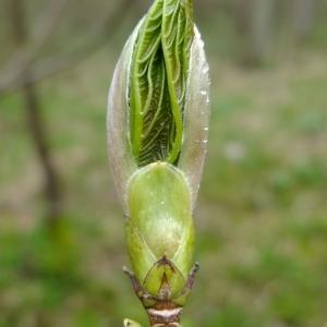Photographie n°294890 du taxon Acer pseudoplatanus L.