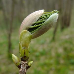 Photographie n°294891 du taxon Acer pseudoplatanus L.