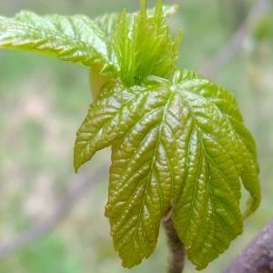 Photographie n°294892 du taxon Acer pseudoplatanus L.