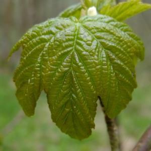 Photographie n°294893 du taxon Acer pseudoplatanus L.