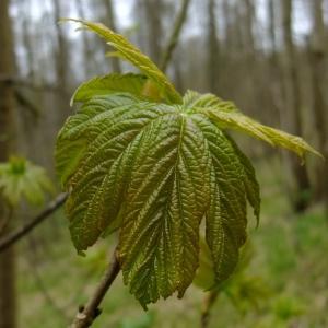 Photographie n°294895 du taxon Acer pseudoplatanus L.