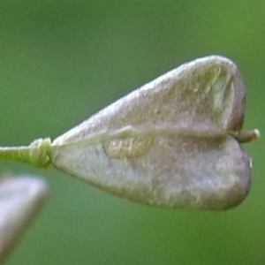 Photographie n°294901 du taxon Capsella bursa-pastoris (L.) Medik. [1792]