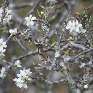 - Prunus L.