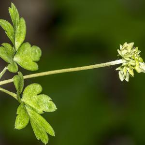 Photographie n°295342 du taxon Adoxa moschatellina L. [1753]