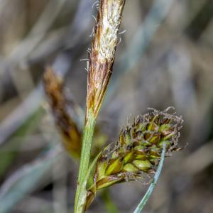Photographie n°295360 du taxon Carex caryophyllea Latourr. [1785]