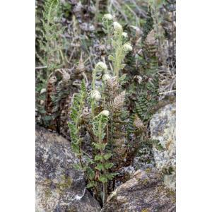Paragymnopteris marantae (L.) K.H.Shing (Doradille de Maranta)