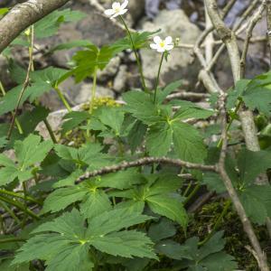 Photographie n°295395 du taxon Ranunculus aconitifolius L. [1753]