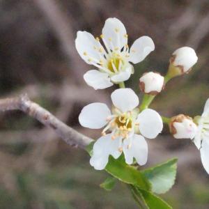 Photographie n°295513 du taxon Prunus mahaleb L.