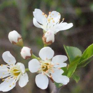 Photographie n°295514 du taxon Prunus mahaleb L.