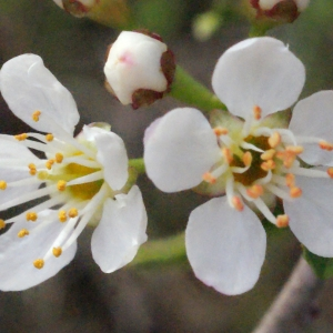 Photographie n°295515 du taxon Prunus mahaleb L.