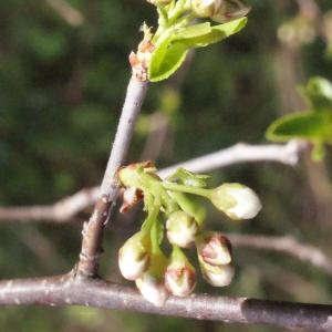 Photographie n°295522 du taxon Prunus mahaleb L.
