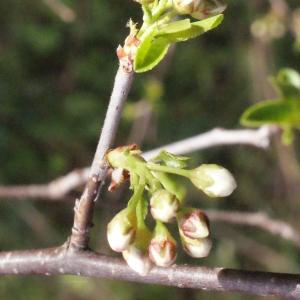 Photographie n°295523 du taxon Prunus mahaleb L.