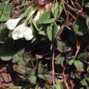 Photographie n°295532 du taxon Trifolium subterraneum L. [1753]