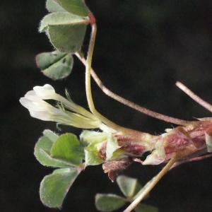 Photographie n°295533 du taxon Trifolium subterraneum L. [1753]