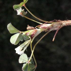 Photographie n°295535 du taxon Trifolium subterraneum L. [1753]