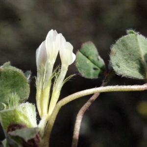 Photographie n°295536 du taxon Trifolium subterraneum L. [1753]