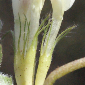 Photographie n°295538 du taxon Trifolium subterraneum L. [1753]