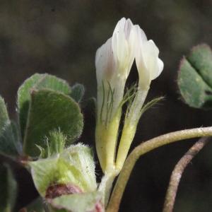 Photographie n°295539 du taxon Trifolium subterraneum L. [1753]