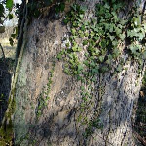 Photographie n°295600 du taxon Acer opalus Mill.