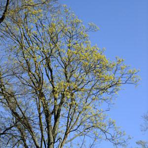 Photographie n°295603 du taxon Acer opalus Mill.