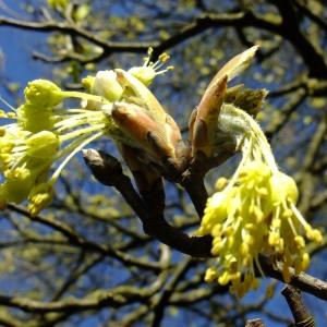 Photographie n°295605 du taxon Acer opalus Mill.