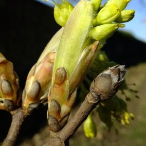 Photographie n°295608 du taxon Acer opalus Mill.