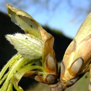 Photographie n°295609 du taxon Acer opalus Mill.