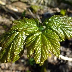 Photographie n°295632 du taxon Acer pseudoplatanus L.