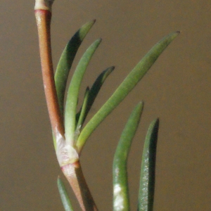 Photographie n°295846 du taxon Spergularia media (L.) C.Presl [1826]