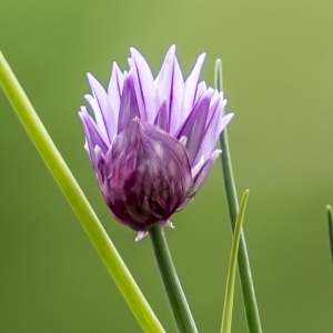 Photographie n°295896 du taxon Allium schoenoprasum L.