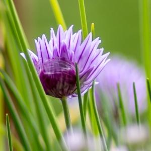 Photographie n°295897 du taxon Allium schoenoprasum L.