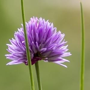 Photographie n°295898 du taxon Allium schoenoprasum L.