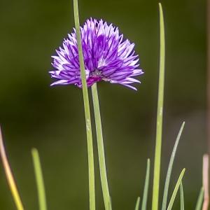 Photographie n°295899 du taxon Allium schoenoprasum L.
