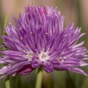 Photographie n°295901 du taxon Allium schoenoprasum L.