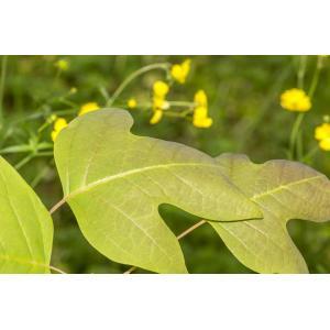 Liriodendron chinensis (Hemsl.) Sarg.