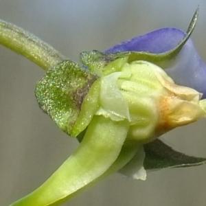 Photographie n°296284 du taxon Viola riviniana Rchb.